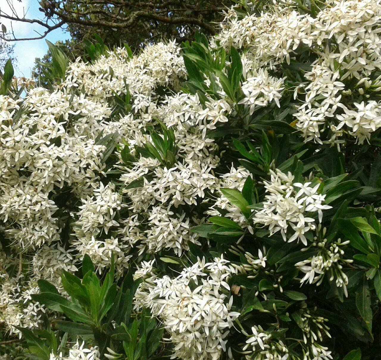 The sweet-smelling Weeping Bride's Bush (Pavetta) is in flower all over the Reserve at the moment - a gorgeous sight and a delight to the bees!